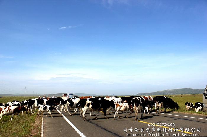 呼伦贝尔草原上的牛群