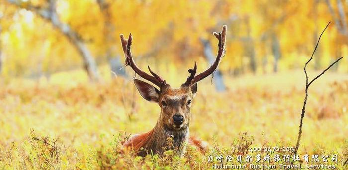 呼伦贝尔神鹿园秋色