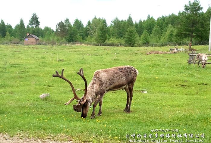 呼伦贝尔敖鲁古雅驯鹿部落