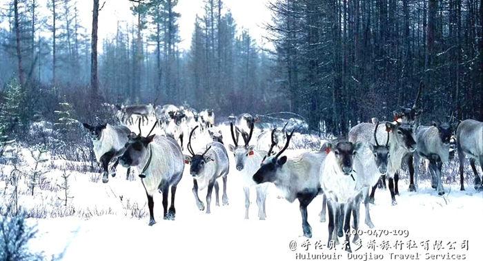 呼伦贝尔冬季敖鲁古雅使鹿部落