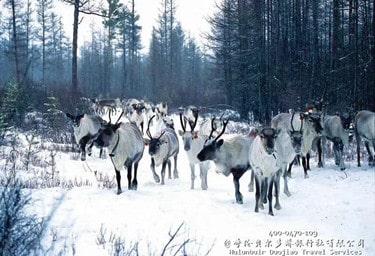 鄂温克使鹿部落_必游的驯鹿之乡