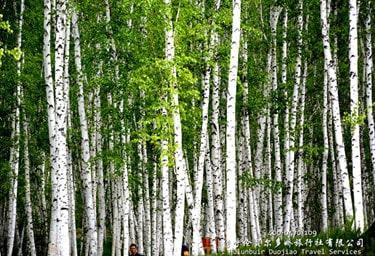 呼伦贝尔童话般的白桦林景