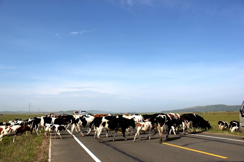 悠闲自在过马路的牛群